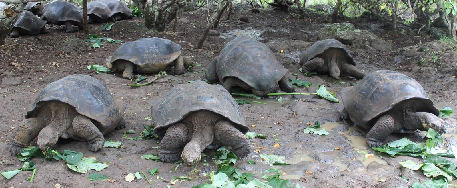 Tortugas gigantes siendo alimentadas en nuestro voluntariado en Galápagos.